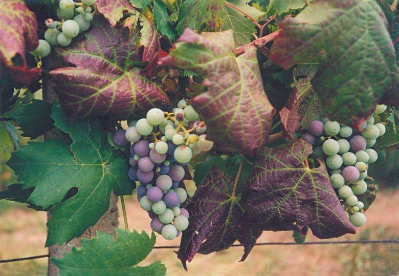 Virova Svinutka Revy Vinne Svaz Integrovane A Ekologicke Produkce